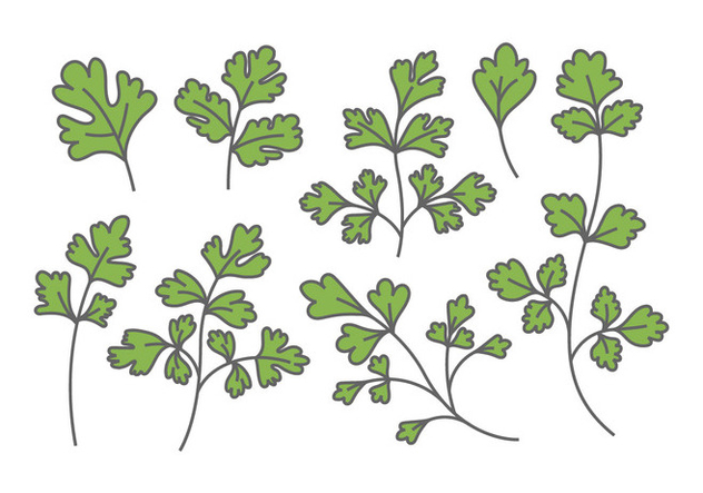 Chinese Parsley Vectors - Free vector #382871