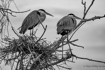 Great Blue Herons - image gratuit #383111