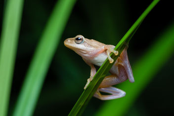 Chiromantis doriae, Doria's Asian tree frog - Phu Khieo Wildlife Sanctuary - Free image #385151