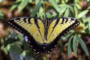 Eastern Tiger Swallowtail - image gratuit #385861