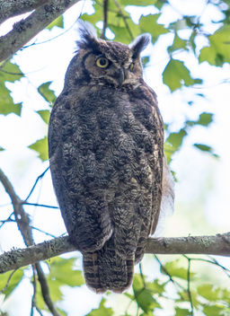 Great Horned Owl - image gratuit #385881