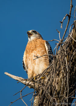 Red-shoulder Hawk - Kostenloses image #386961