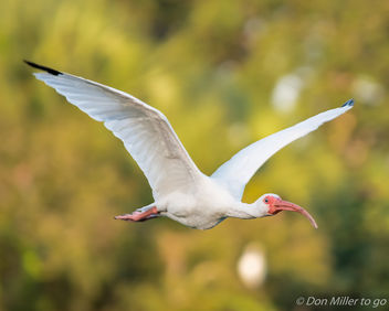 Ibis in Flight - image #388561 gratis
