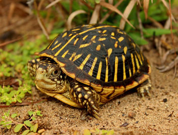Ornate Box Turtle (Terrapene ornata - image gratuit #389401