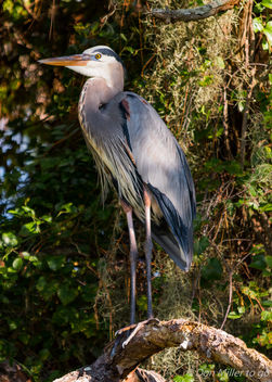 Great Blue Heron - image #389471 gratis