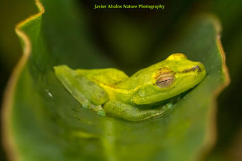 Green frog in Mindo, Ecuador - бесплатный image #394741