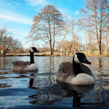 Ducks in spring park - image gratuit #394811