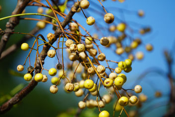 autumn berries - Free image #400071