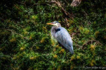 Great Blue Heron - image #400111 gratis