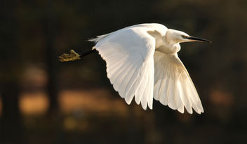 Little Egret - Free image #401031