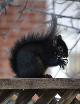 Black Squirrel Enjoying A Banana Popsicle - image gratuit #409701
