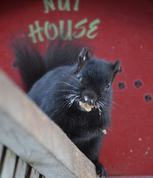 Baby It's Cold Outside! Black Squirrel - image gratuit #409721
