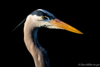 Great Blue Heron - image #412421 gratis