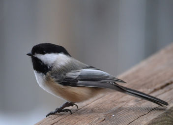 Black-Capped Chickadee - image #412451 gratis
