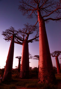 Baobabs on Sunset - image gratuit #413051