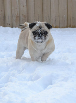 Pug Snow Face - Kostenloses image #413071