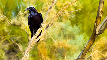 A Crow Left of the Murder - image gratuit #413301