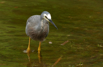 The white-faced heron (Egretta novaehollandiae) - Kostenloses image #414561