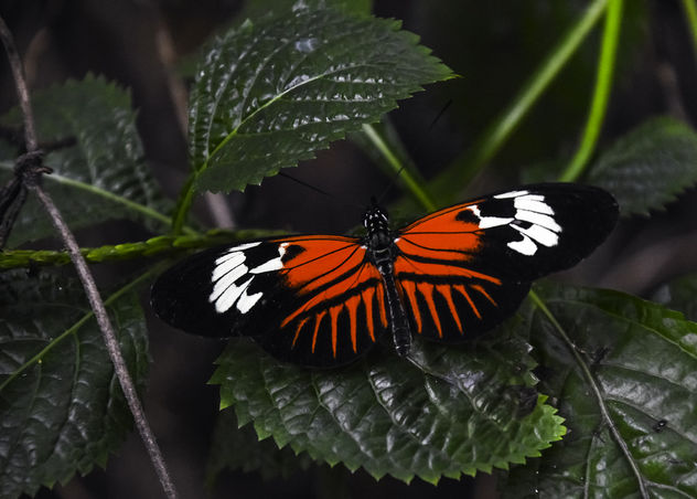Madeira Butterfly - Kostenloses image #415641