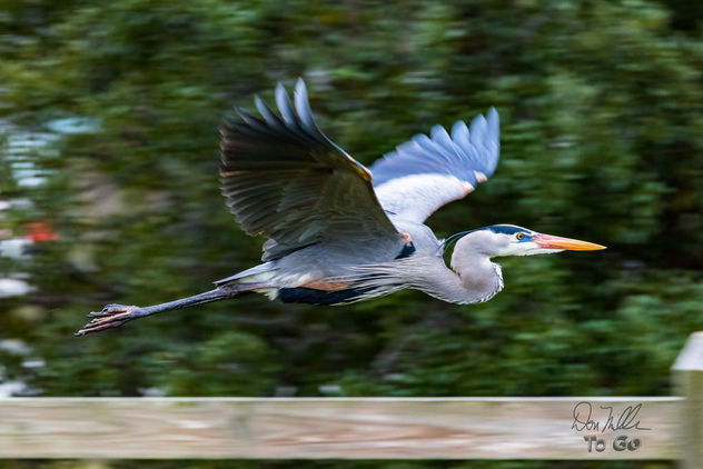 Great Blue Heron on the move - Free image #416761
