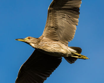 Immature Black-crowned Night Heron - Kostenloses image #423951