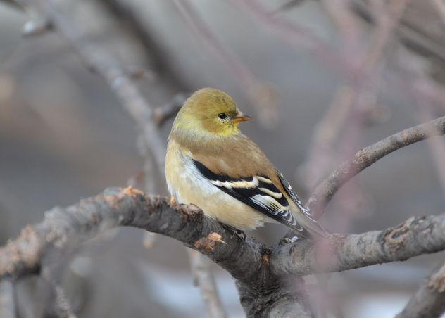 Male Goldfinch - image #425501 gratis
