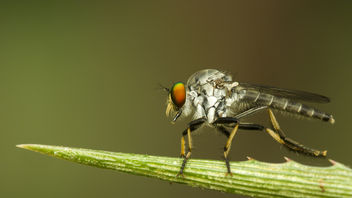 Robberfly cleaning it's legs - image gratuit #425571