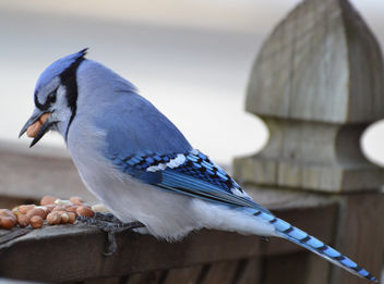 Bluejay (I wonder how many peanuts he can cram into his mouth?) - Free image #426011