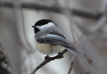 Black-capped Chickadee - image #426751 gratis