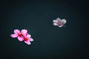 Cherry Blossoms Floating - Free image #427891