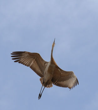 Sandhill Crane in Flight - image #429791 gratis