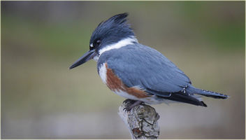 female belted kingfisher closeup - image #432091 gratis