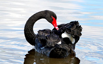 The black swan (Cygnus atratus) - бесплатный image #432911