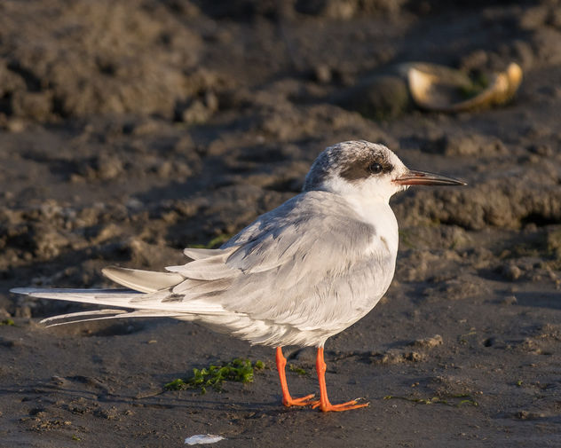 Forster's Tern, non-breeding adult - Kostenloses image #433321