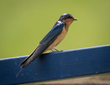 Barn Swallow - image gratuit #434381