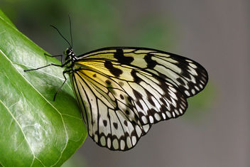 Idea leuconoe -(Paper Kite) - бесплатный image #434551