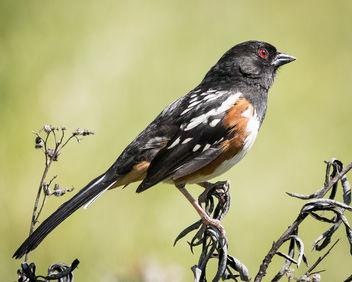 Spotted Towhee - Kostenloses image #435181
