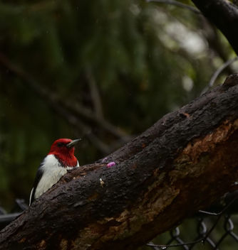 Red-headed woodpecker (a lifer for me, species #160) - image gratuit #437321