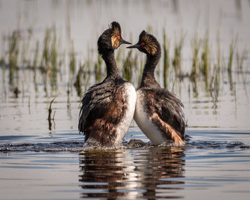 Eared Grebe Courting Display - image gratuit #438881
