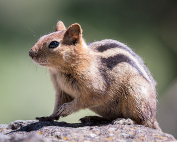 Golden-mantled Ground Squirrel - image #438941 gratis