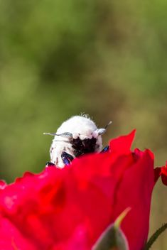 moth on red rose - image gratuit #438991