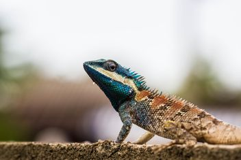 Blue-crested lizard - Free image #439151