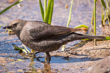 Brewer's Blackbird (f) with lunch - Free image #439971