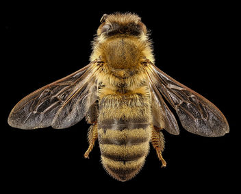 Apis mellifera, dark body, back, beltsville, md_2017-05-26-15.01 - Free image #443711