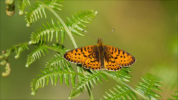Small Pearl-bordered Fritilliary - image gratuit #443751