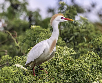Cattle Egret in Breeding Plumage - image gratuit #443801