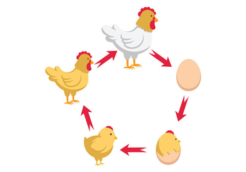 Chicken Life Cycle Vector - Free vector #446001