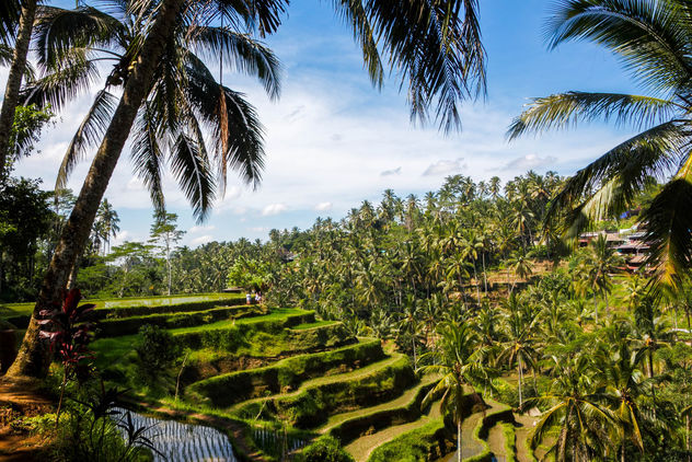 Green rice field in Bali - image gratuit #446221