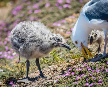 Western Gull Chicks and Mom - image #446231 gratis