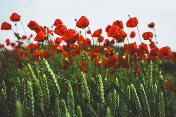 Poppies on a windy day - Free image #446611